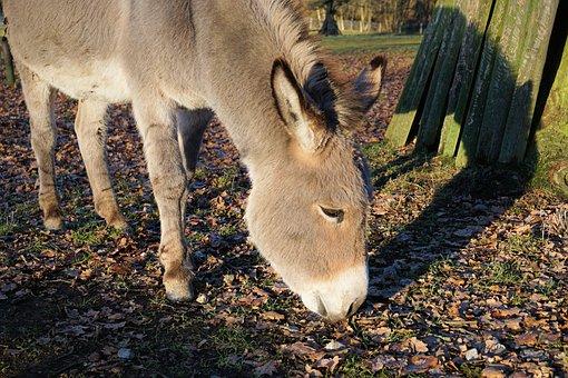 Donkey, Animals, Nature, Rural, Cute, Ears, Donkey Eats