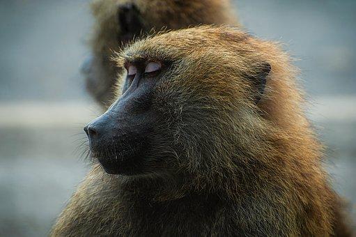 Baboon, Monkey, Animal, Wildlife, Macro, Closeup