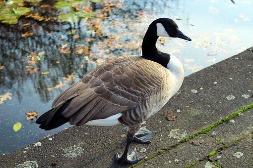 Canada Goose, Bird, Nature, Goose, Water Bird