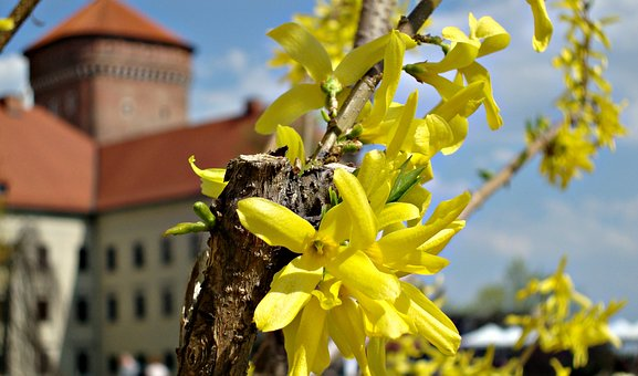 Flower, Forsythia, Flowering, Nature, Yellow, Spring