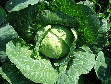 Cabbage, Vegetable, Belokachannaya, Greens