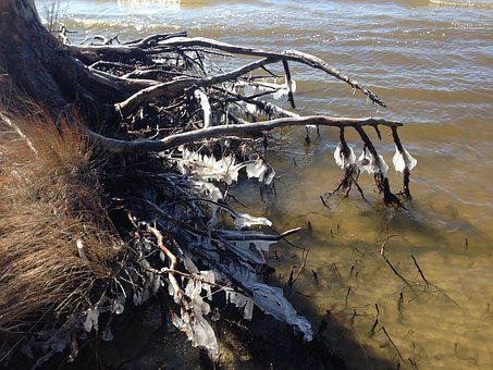 Tree Roots, Ice, Nags Head Woods, Hiking, Lake, Winter