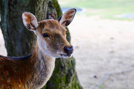 Japan, Nara, Deer, Park, Animal, City