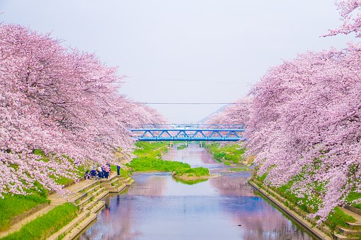 Cherry Blossoms, River, Blue Sky, Japan, Green