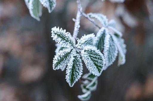 Ice Flowers, Wintry, Leaf, Ice, Snow, Branch, Snowy