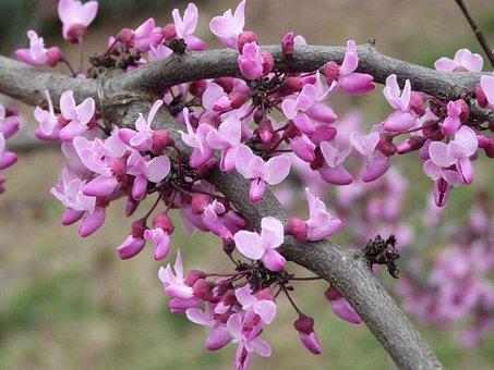 Pansy Redbud Bloom, Redbud, Flower, Pink, Tree