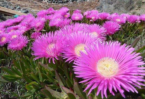 Carpobrotus Edulis, Plant, Flowers, Nature, Rose Petals