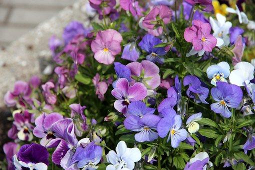 Pansies, Violets, Flowers, Purple Flowers, Plants