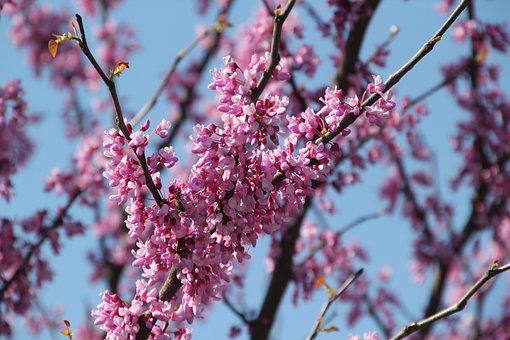 Tree, Redbud, Pink, Spring, Nature, Flowers, Purple