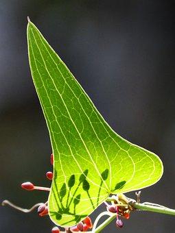 Sarsaparilla, Berry, Leaf, Autumn, Translucent, Arinjol