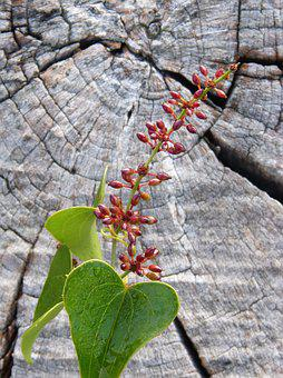 Sarsaparilla, Berry, Leaf, Autumn, Wood, Arinjol