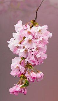 Blossom, Flowers, Cherry Blossom, Pink, Close-up