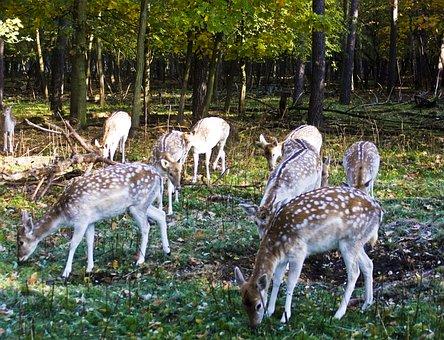 Fallow Deer, Group, Flock, Graze, Deer
