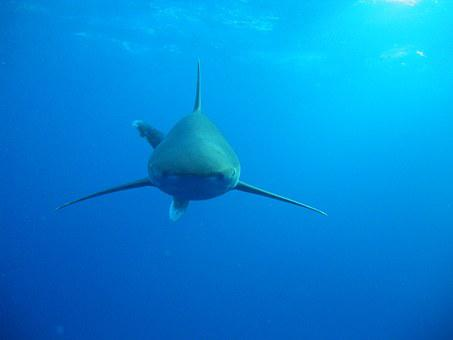Hai, Rotesmeer, Diving