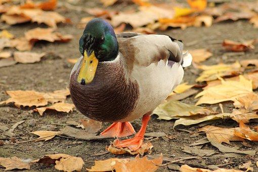 Mallard, Water Bird, Entenmaennchen, Drake, Duck, Bird