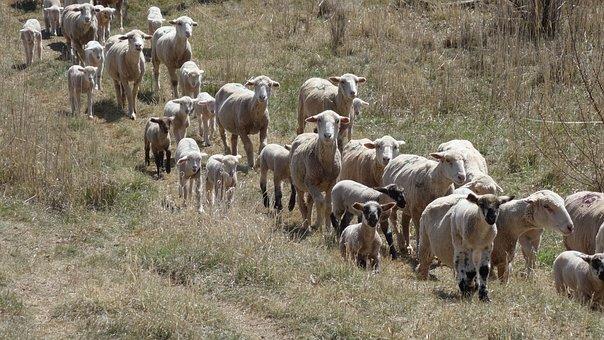 Herd, Herd Behaviour, Compliant, Sheep, Lambs, Animals