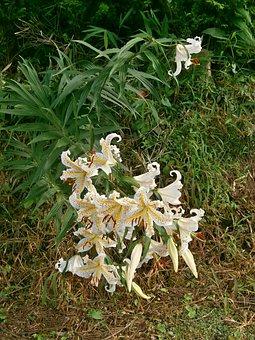 Lily, Yuri, Yamayuri, White Lily, Lily Of Japan