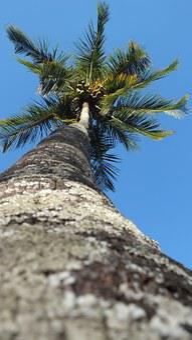 Palm Tree, Majestic, Long, High