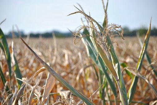 Corn, Summer, Field, Harvest, Plant, Drought, Dry