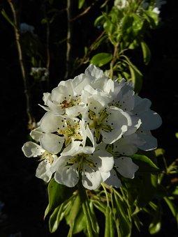 Cherry Blossom, Garden, Outdoor, Nature, Blossom, Tree