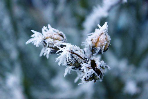 Frost, Rigid, Winter, Hoarfrost, Cold, Plant, Wintry