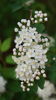 Angervo, White Blossom, Buds, Flower, Bush