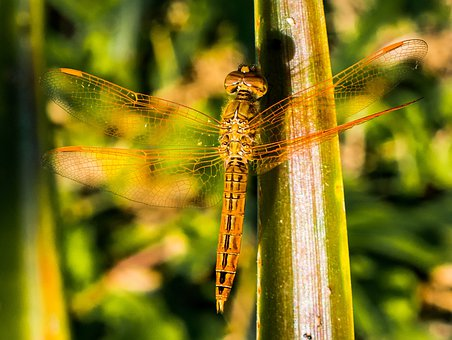 Dragonfly, Insect, Animal, Close, Wing, Chitin
