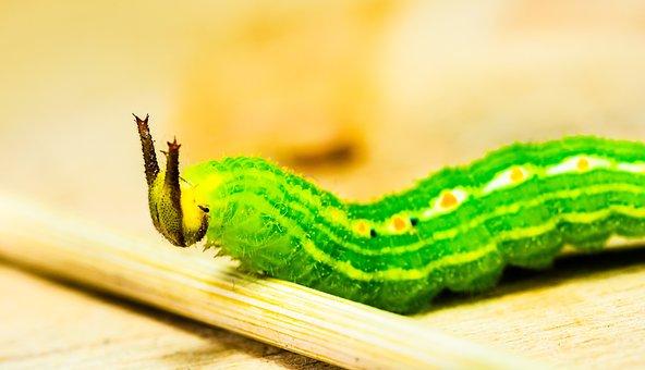 Caterpillar, Green, Head, Horns, Detail, Macro, Animal