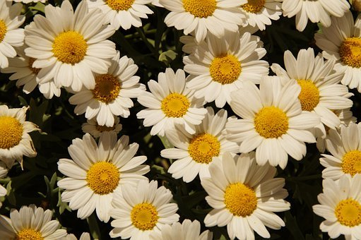 Daisies, Margheriten, Flowers, Many, Bloom, White