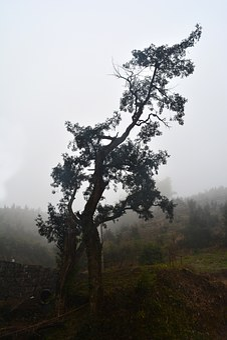 Torreya Tree, Torreya Tree Centuries, Shadows
