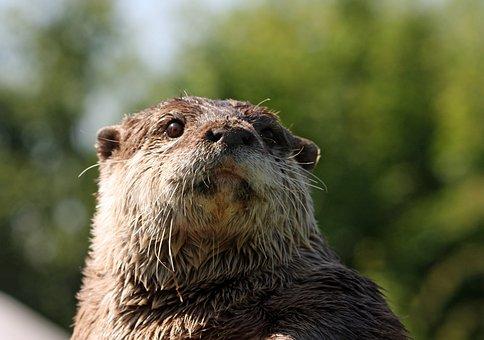 Otter, Animal, Wild, Wildlife, European Otter, Close-up