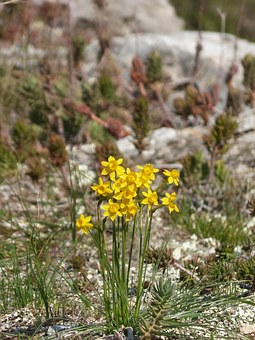 Wild Daffodils, Wild Flower, Spring, Yellow