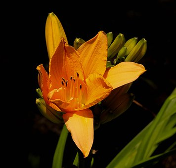 Orange Daylily, Perennial, Flower, Blossom, Bloom