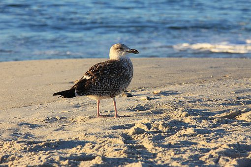 Seagull, Gull, Sea-gull, Bird, Beach, Sand, Animal