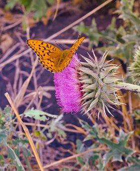 Butterfly, Insect, Orange, Spots, Black, Flower, Pink
