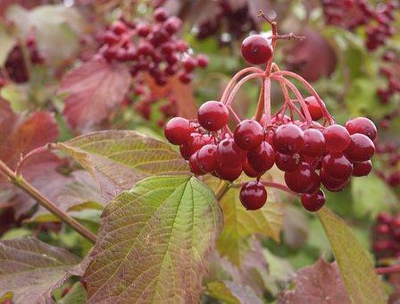 Red Berries, Nature, Plant, Natural, Botanical, Organic