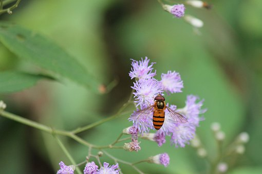 Flower, Wildflower, Hoverfly, Flower Fly, Syrphid Fly