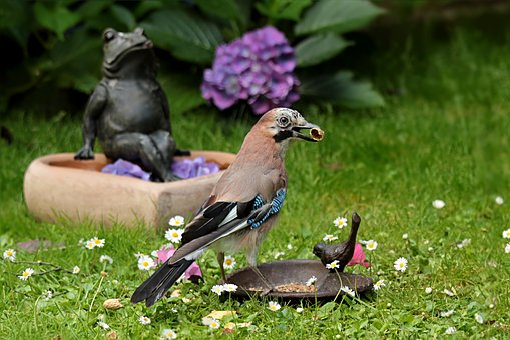 Jay, Garrulus Glandarius, Bird, Foraging, Garden