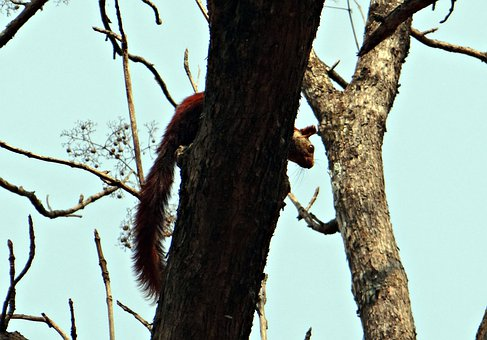 Malabar Giant Squirrel, Ratufa Indica