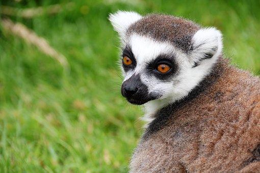 Lemur, Monkey, Madagascar, Animal, Mammal, Primate
