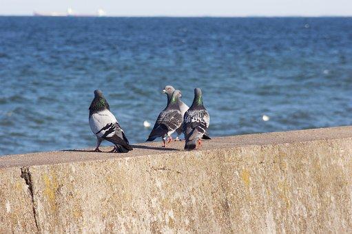 Pigeons, Birds, Dove, Sea, Boulevard, Gdynia