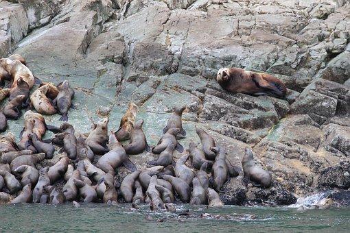 Seals, Animals, Sea Life, Marine, Aquatic, Wildlife