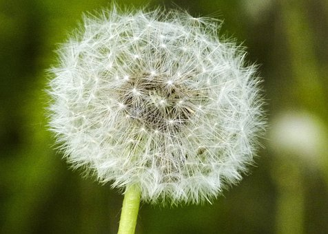 Dandelion, Flower, Seed, Nature, Flora, Meadow, Macro