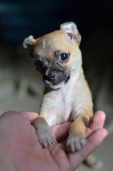 Dog, Small Dogs, Vietnam, Indoor, Cute, Pets, Animal