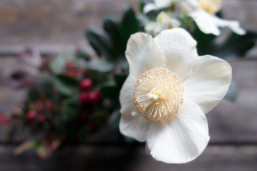 Christmas Rose, Flower, White, Winterblueher, Blossom
