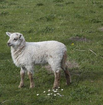 Sheep, Lamb, Animal, Cute, Animal World, Nature, Fur