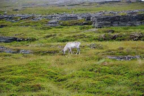 Norway, Northern Cape, Rennes, Deer, Lapland