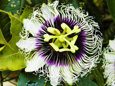 Passion Fruit, Flower, Nature, Flowers, Beauty, Green