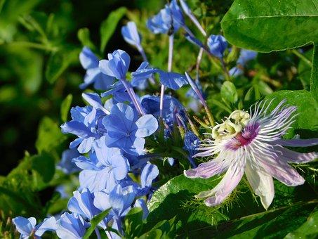 Flower, Blue, Lilac, Flowers, Plants, Spring, Garden