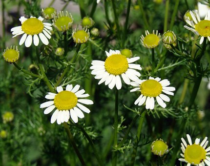 Daises, Forming, New Growth, Flower, Nature, Yellow